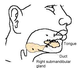 The duct of the submandibular gland opens into the floor of the tongue